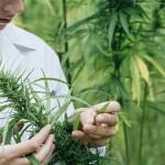 study marijuana