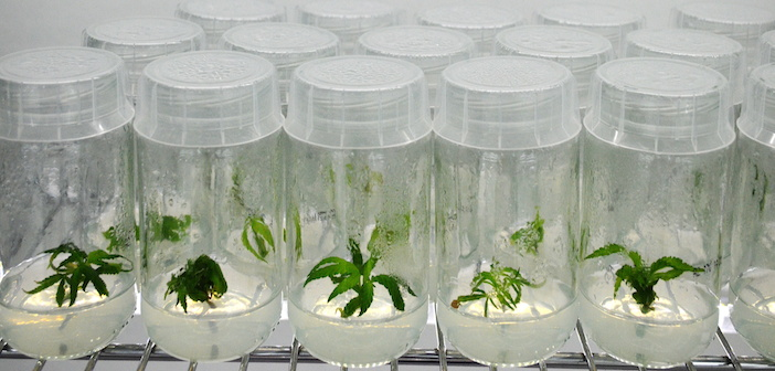 The Future of Cannabis Micropropagation