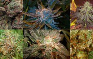 Cannabis stains, Las Vegas lab testing, Las Vegas marijuana