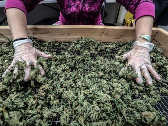 Cannabis Destruction in California