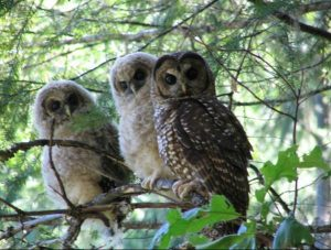 Northern Spotted Owl, Humboldt County marijuana growers, lab testing cannabis in Humboldt County, California marijuana lab testing
