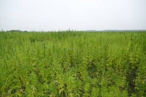 Hemp Farming Act, 2018 Farm Bill, hemp farms, industrial hemp, cannabis lab testing