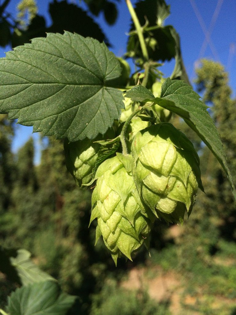 Digipath Files Provisional Patent for Terpene Applications in Beer and other Beverages