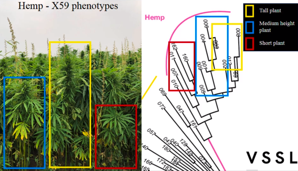 phenotypes for hemp lab testing in nevada show that the same hemp variety exhibits multiple characteristics